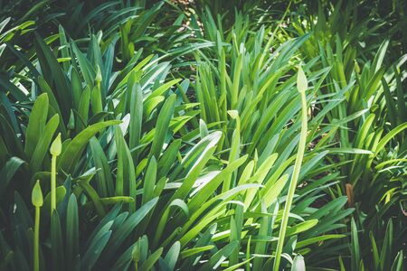 Green leaves and buds of Agapanthus, commonly known as Lily of the Nile or African Lily, growing in a garden on a sunny day