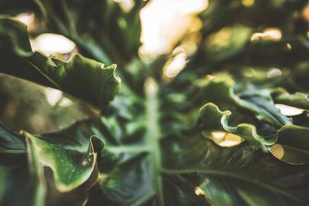 Abstract background of a giant wavy green leaf of Philodendron plant