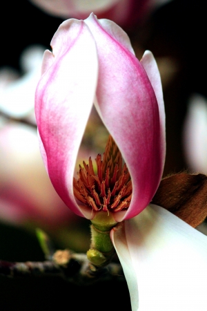 Single Magnolia blossom