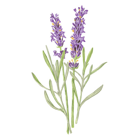 Lavender Vector - botanical illustration, vector isolated on a white background Ilustracja