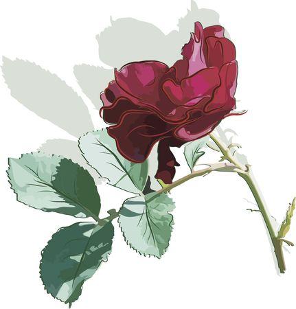 red rose: Hand drawn Rose bud still life.