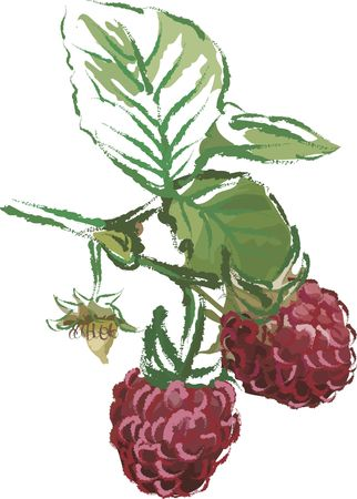 Drawing of vine ripe raspberries with a grunge texture.