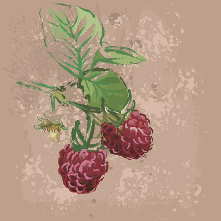 Drawing of vine ripe raspberries with a grunge background