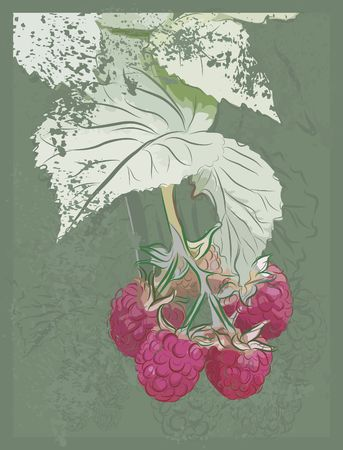 prolific: Drawing of vine ripe raspberries with a grunge background, with no gradients.