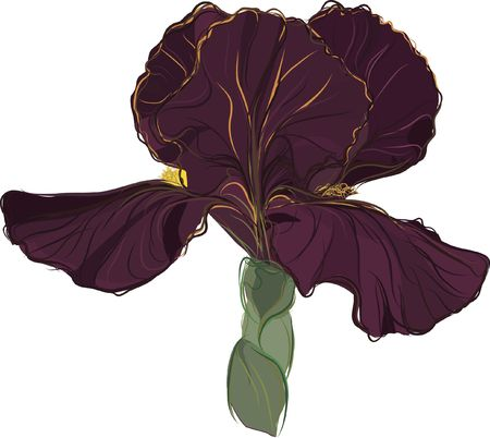 Still life drawing of a Purple Iris. Stok Fotoğraf