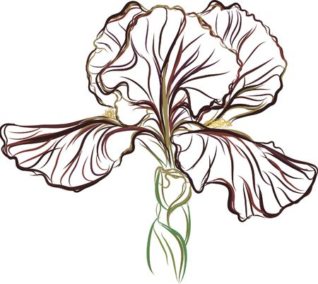 Still life drawing of a purple Iris.