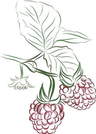 prolific: Drawing of vine ripe raspberries. No Gradients.