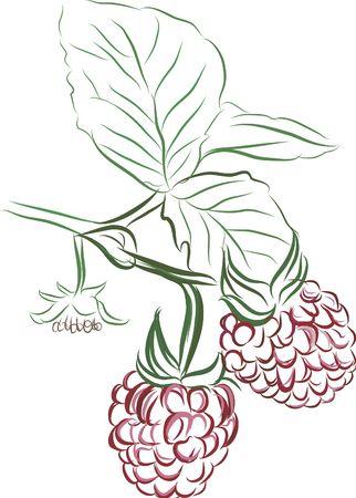 alive: Drawing of vine ripe raspberries. No Gradients.