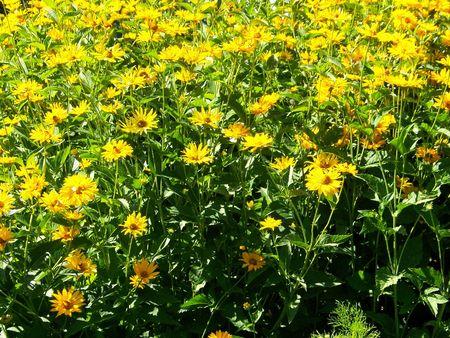Sea of bold Goldenrod Marygolds