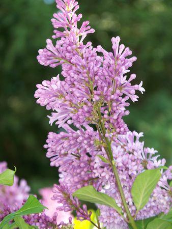 Photo of a budding lilac tree in a northern climate. Reklamní fotografie