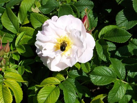 Photo of a wild rose with a bumble bee pollinating the flower.