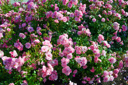 Large bush of pink roses lit by the sun