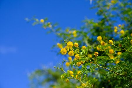 Acacia with yellow flowers close up selective focus on blue sky background