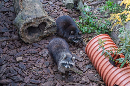 Raccoons in the enclosure at the zoo look at the camera from the bottom up, selective focus