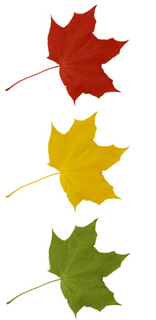 Three colored maple leaf - red, yellow and green on a white background photo