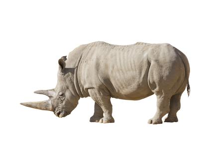 White rhinoceros on a white background isolation