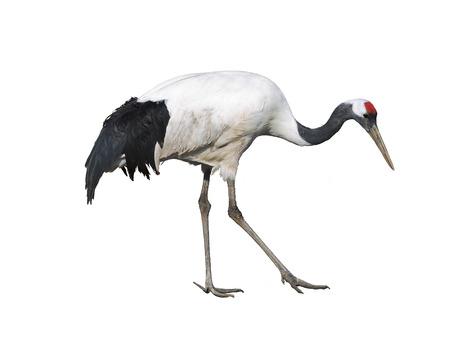 rare animals: The Japanese crane on white background isolated