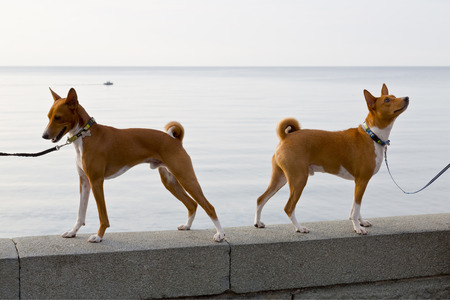parapet: Two small hunting dog breed Basenji stand on the parapet of the embankment Stock Photo