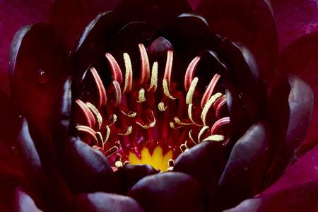 nenuphar: Close up of maroon lotus