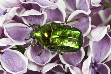 aurata: Rose chafer (cetonia aurata) is sitting on flowers of lilac