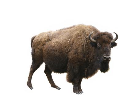 european bison isolated on white background Stok Fotoğraf