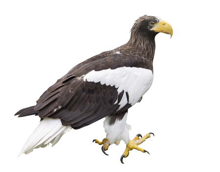 Adult Stellers Sea Eagle isolated on white background Stock Photo