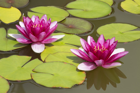 nenuphar: Two pink Lily or Nymphaea