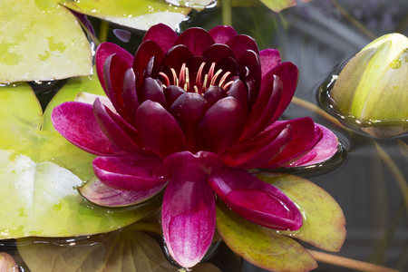 Burgundy water lily in a pond Stock Photo