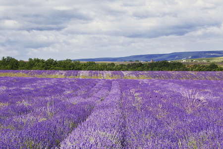 lavande: Purple field of lavender flowers, Crimea, Russia