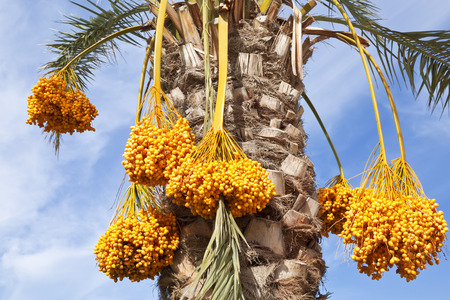 date palm tree: Date palm tree with dates on the background of blue sky