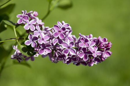 sensation: Beautiful purple lilac flowers outdoors. Sort Sensation Stock Photo