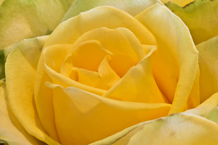 roseleaf: background of bright yellow  rose macro