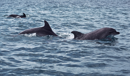 dolphins: shoal of wild dolphins swim in the Black sea
