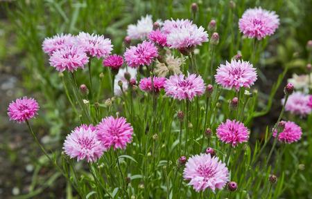 garden cornflowers: Summer flowering , pink cornflowers in the garden