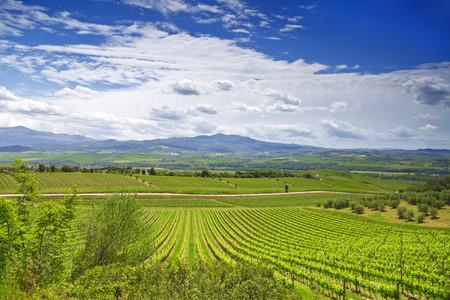 montepulciano: Vineyards in Tuscany. Italy