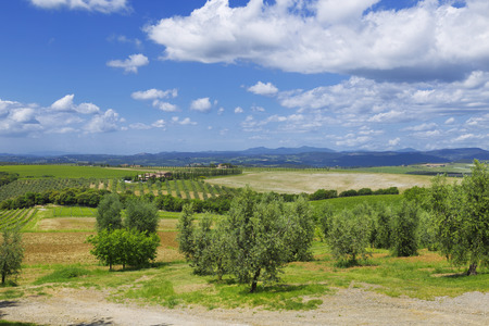 olive groves: Rural landscape of olive groves on a sunny summer day