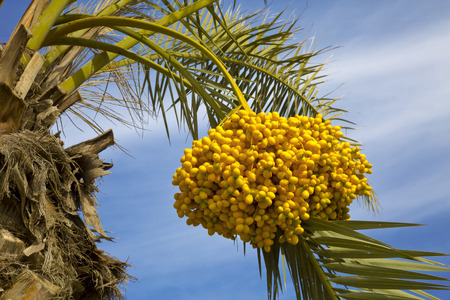 israel farming: Date palm tree with dates on the background of blue sky