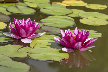 nenuphar: Two lilies or nymphs in a pond