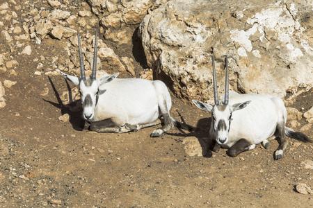 oryx: Two wild Arabian oryx