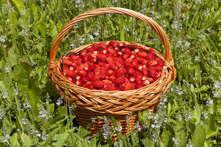 basketful: a basket of ripe strawberries in a meadow of grass and flowers