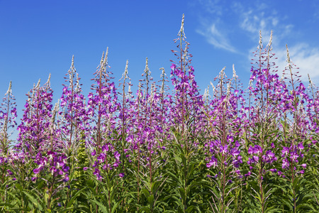 angustifolium: Pink flowers of fireweed (Epilobium or Chamerion angustifolium) on the background of blue sky