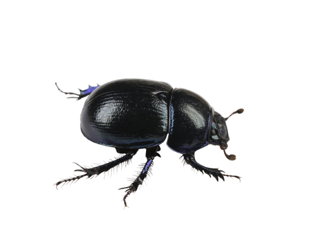 dung Beetle violet black on white background isolated Stock Photo