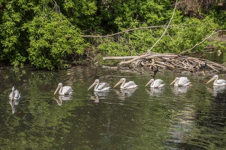cormorants: Cormorants and pelicans in the wild