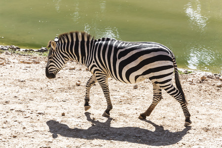 herbivore: Zebra is on the shore of the river in Africa