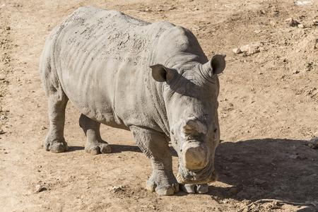herbivore: White rhinoceros (Ceratotherium simum)