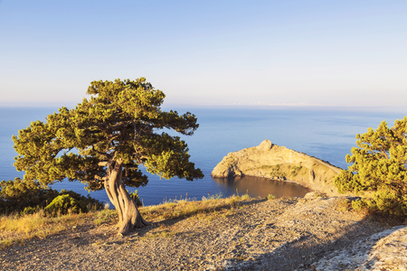 rocky mountain juniper: alone pine tree growing on the slope of the mountain in the Crimea early morning
