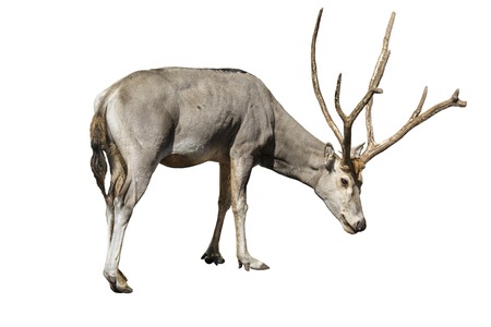 male of Davids Deer. Isolated over white background