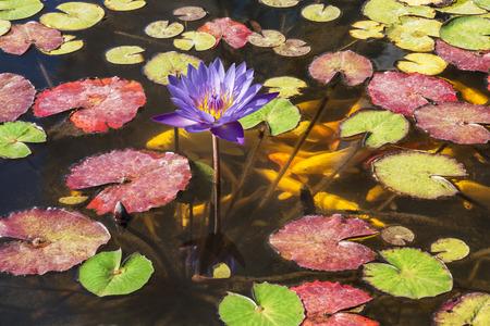 Kwitnie purpurowego lotosu w ornamentacyjnym goldfish i stawie Zdjęcie Seryjne
