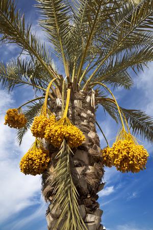 Date de palmier avec des dates sur le fond bleu du ciel