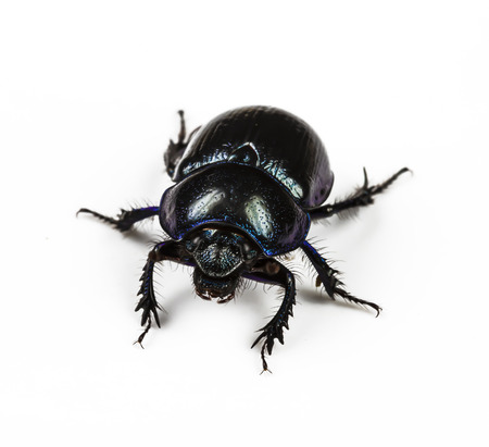 dung Beetle violet black on white background Stock Photo